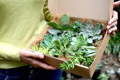 Succulent Gift Box, Succulent plants with ROOTS gift wrapped for plant lovers, DIY Succulent terrarium, Exotic plants