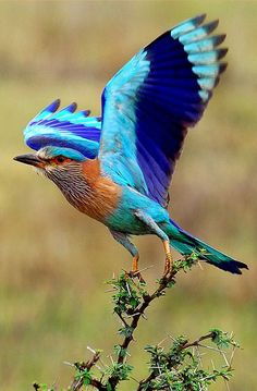 Indian roller bird, Coracias benghalensis,
