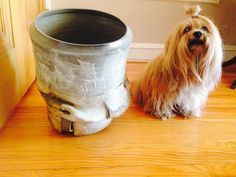 Miles #Lhasa shops for #pottery and finds a piece that is just the right size! @liondogsbymel