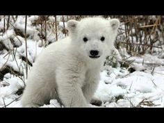 So cute, polar bear cub Baby Polar Bears, Cute Polar Bear, Polar Cub, Grizzly Bears, Baby Bear Cub, Teddy Bear, Big Bear, Bear Wallpaper, Animal Wallpaper