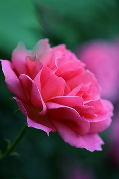 lovely rose
