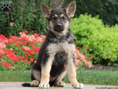 Cheyenne, German Shepherd puppy for sale from Lititz, PA