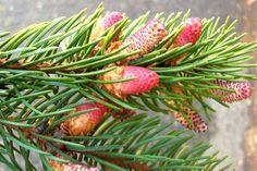 Abete Rosso - Picea abies Proprietà