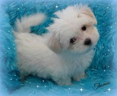 Gorgeous 3/4 Maltese Puppy! Absolutely Adorable!