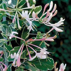 Harlequin Honeysuckle Plant - Jackson & Perkins