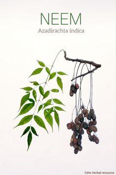 Neem Azadirachta indica
