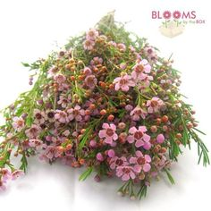 Wholesale Wax Flower Pink - waxflower - Blooms by the Box