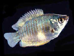Sexing Gourami Fish | http://www.aquariumfish.net/images_01/gourami_neon_blue_female.jpg