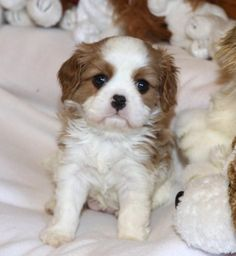 Sheeba Cavaliers - Puppies