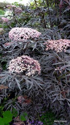Focus sur : le Sambucus nigra Black Lace 'Eva',