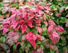 Buy heavenly bamboo Nandina domestica 'Fire Power': Delivery by Crocus.co.uk