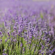 Lavender plants, especially when grouped together, are reminiscent of a quaint, peaceful English countryside. With careful selection, gardeners from zones 4 through 10 can enjoy the charm of these plants. This article will discuss lavender plants for zone Lavender Care, Potted Lavender, Lavender Seeds, Growing Lavender, Lavender Flowers, French Lavender, Lavander, Purple Flowers, Zone 8 Plants