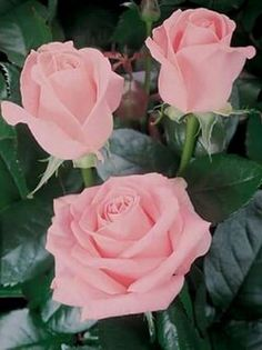 The key issue is to pick a rose which you find beautiful, and that suits your garden. The rose is a kind of flowering shrub. Beautiful Rose Flowers, All Flowers, Amazing Flowers, My Flower, Rosa Rose, Red Roses, Planting Flowers, Floral, Photos