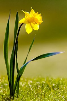 daffodil---you are my sunshine! One of my mothers favorite flowers and song she sang with my dad.  Miss you mom more than words can say.