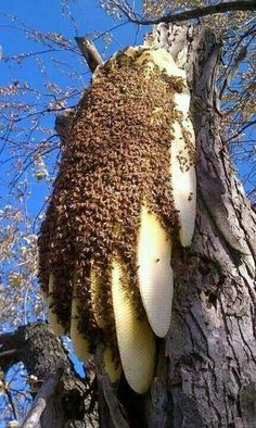 Natural bee hive - while it might be a bit scary, wouldn't it be nice to have one these some where in proximity to your (or my) garden? Beautiful Bugs, Amazing Nature, Honey Bee Hives, Honey Bees, I Love Bees, Bees And Wasps, Bee Art, Save The Bees, Bee Happy