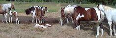 Image result for buckskin paint horses for sale