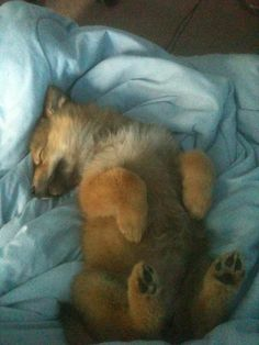 Sleeping wolf cub, my cat sleeps just like this, super cute! Baby Animals, Funny Animals, Cute Animals, Wild Animals, Beautiful Creatures, Animals Beautiful, Sleeping Wolf, African Wild Dog, Wolf Pup