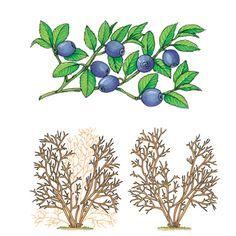 Potatura di un arbusto di mirtillo
