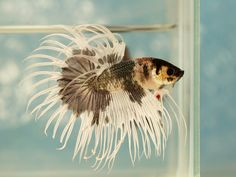 Crowntail Betta Auctions - Sat May 16 2020 Beta Fish, Siamese Fighting Fish, Colorful Animals, Fish Tanks, Aquariums, Tropical Fish, Betta, Auction, Fancy