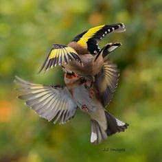 Janey  fisticuffs from the goldfinches. I like the spread of the wings but would have liked more of…'