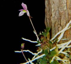 rara orquídea constantia microscopica