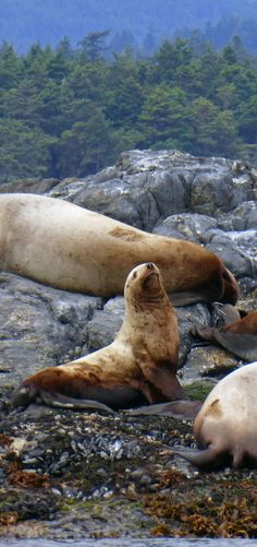 Sea lions near Victoria on Vancouver Island, Canada