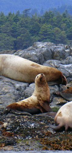 Sea lions near Victoria on Vancouver Island, Canada                                                                                                                                                                                  More
