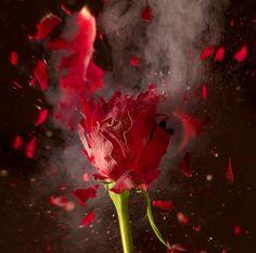 A rose dipped in liquid nitrogen.