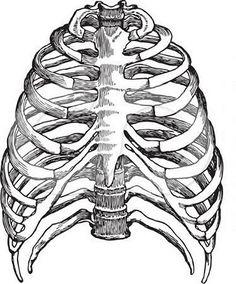 Home Decor - ImageBuffer Human Skeleton Anatomy, Human Anatomy Art, Anatomy Drawing, Rib Cage Drawing, Bone Drawing, Rib Cage Anatomy, Anatomy Bones, Skeleton Drawings, Medical Art