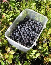 Bilberry has beneficial effects on many disorders, from poor vision, and diabetes to high cholesterol and blood pressure. Because capillary damage is the primary factor in a number of eye diseases, such as diabetic retinopathy, glaucoma, and cataracts, bilberry extracts are often promoted as a source of protection. This great tasting berry also finds a place in the home herbalist's medicine cabinet as a simple and effective remedy for reducing bruises from black eyes. Bilberries are powerful ...