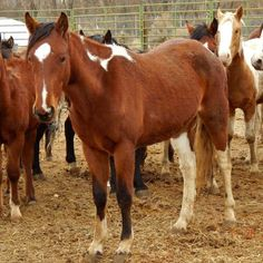 Catalog of December, 2016 Virginia Range Horses at NNCC - If you are looking for a mustang this is your chance otherwise these horses will go to slaughter.