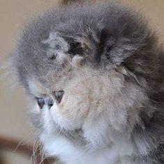 Persian cats and kitties صورتها يوم كانت بيبي ومن أحب الإناث عندي تحمل جين الاودد والبلو