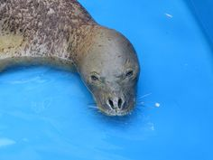 Hawaiian Monk Seals. Popular monk seal on North Shore taken to aquarium for treatment - Hawaii News Now - KGMB and KHNL