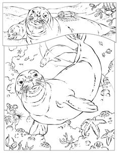 Monk Seal Coloring Page