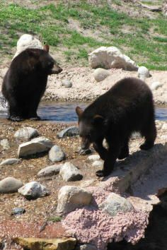 Oswald's Bear Ranch, a sanctuary for several black bears that visitors can see up close