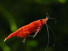 Swimming shrimp