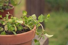 Growing Ginger Mint: Care Of Ginger Mint Plants