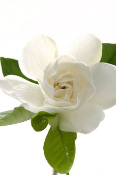 The scent of gardenias is unforgettable...so wonderful!