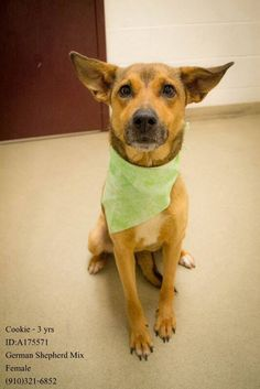 Poor Cookie only has 4 Facebook shares! She's an adorable German Shepherd blend. How can you resist those ears?! She's 3 years old and her Animal ID at the shelter is: A175571. She's in Cumberland County, NC. Please share to save her life!  https://www.facebook.com/CCACanimalfriends/photos/a.197419410439447.1073741832.195162763998445/287180264796694/?type=1&theater