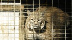 """Petition · Cats are not """"Crops"""" - Don't Allow Bobcat Fur Farming in Montana! · Change.org"""