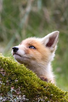 Fox stare by Menno Schaefer