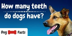 In this ultimate guide to doggy dentistry we'll be exploring and answering the following questions so that we can keep our dogs healthy and happy for a great quality of life. The post How Many Teeth Do Dogs Have? Ultimate Guide appeared first on CanineWeekly.com.