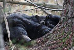 Juliet Bear and Cub