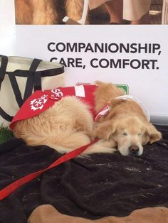 Smiley Blind Golden Retriever Therapy Dog Sunny News Pinterest - Born blind smiley the golden retriever becomes a loving therapy dog