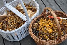 Cueillette de champignons : les principales espèces comestibles, les reconnaitre