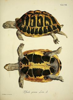 Spur-Thighed Tortoise - Greek Tortoise (Testudo Graeca) Hand-Coloured Engraving. Circa Mid-19th Century.