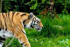 Tiger at Dublin zoo by Paul Madden