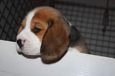 Puppies Born 18/6/2014 30 days old