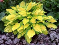 Island Breeze Hosta - new cultivar for 2014
