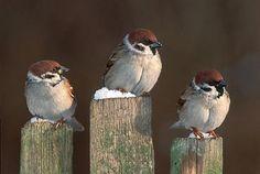 Eurasian Tree Sparrow So Cute Cute Birds, Pretty Birds, Small Birds, Little Birds, Beautiful Birds, Parus Major, Spatzle, Sparrow Bird, Tiny Bird